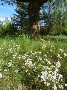 Knöllchensteinbrech (Saxifraga granulata) eine jetzt blühende Trockenrasen-Besonderheit an den Wegesrändern in Pinnow (hier Pflaumenallee)